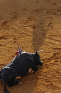 Thousands of bulls are needlessly killed each year in Spain's Corrida.