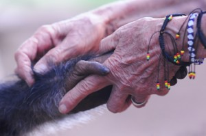 A volunteer shares a moment with a rescued chimpanzee.