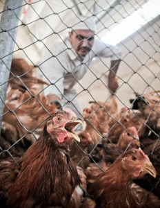 Free range chickens are collected, six at a time, by their legs, and put on the truck headed to slaughter.
